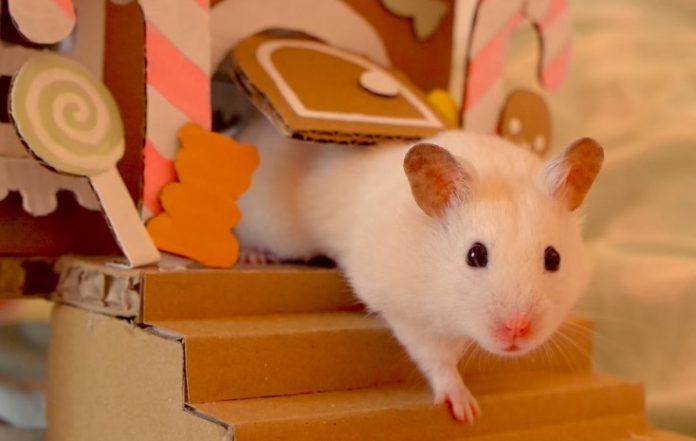 Cara Tepat merawat Hamster agar Jinak