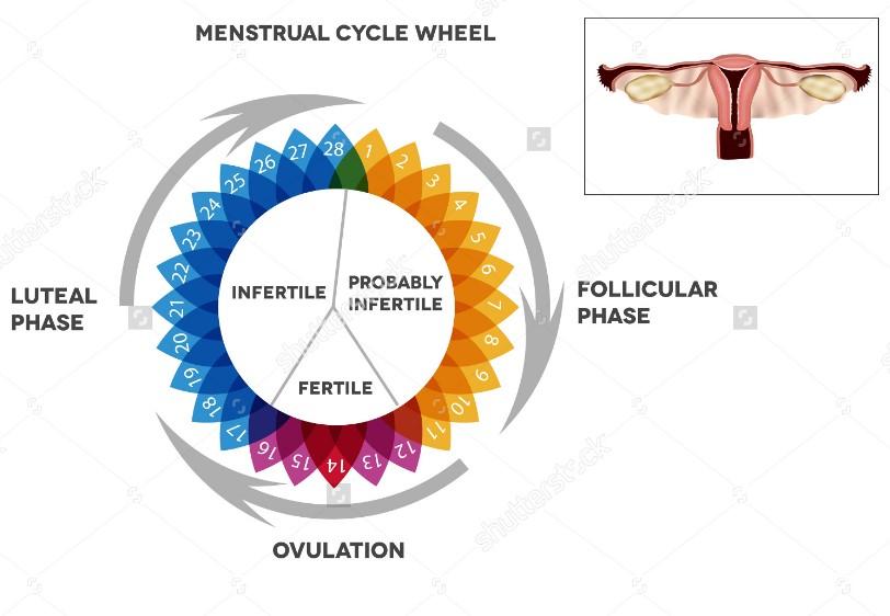 Tahapan dan Proses Menstruasi