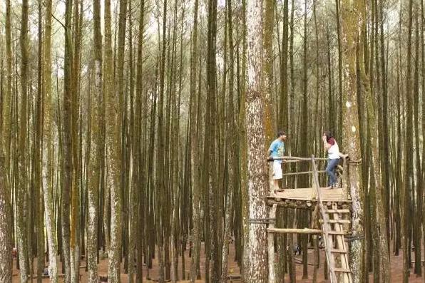 foto rumah pohon atau gardu pandang Hutan Pinus Mangunan